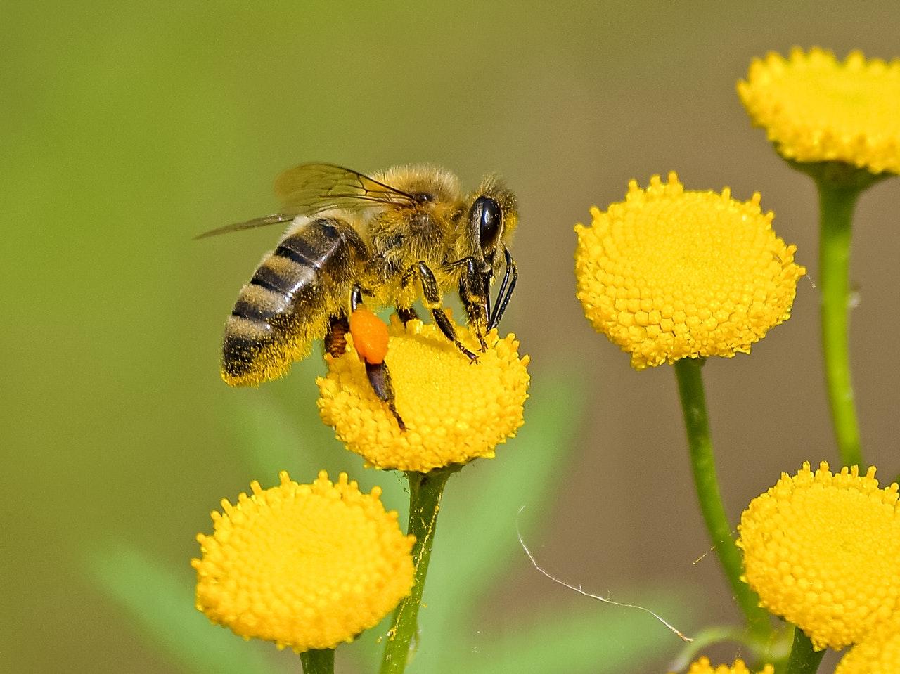 Een bijenvriendelijke tuin creëeren